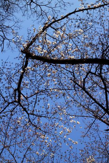 Cherry Cherry Blossoms EyeEm Tokyo MeetUp 12 Flowers Japan Nature Sakura Sakura Blossom Sakura2016 Spring Tokyo