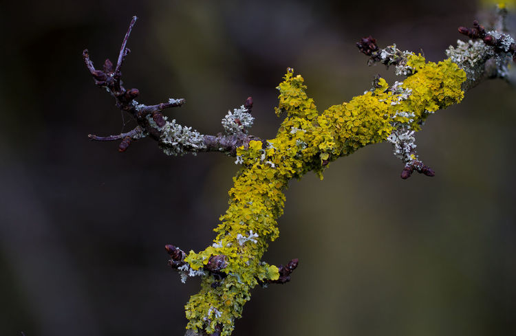 Lichen beauty EyeEmNewHere EyeEm Ready   Lichen Beauty In Nature Branch Close-up Day Fragility Freshness Growth Lichen Beauty Lichen In Macro Lichen On A Tree Nature No People Outdoors Plant Yellow Color EyeEm Ready   EyeEmNewHere