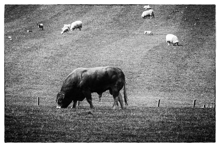 Scotland Animal Themes Animal Group Of Animals Mammal Animal Wildlife Grass Domestic Animals Field Land Livestock Auto Post Production Filter Vertebrate Grazing Animals In The Wild Nature Transfer Print Agriculture No People Domestic Plant Outdoors Herbivorous