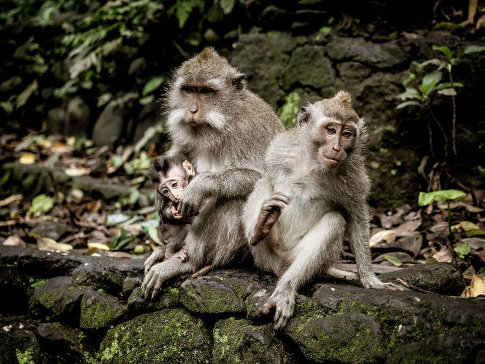 Group Of Animals Mammal Animals In The Wild Animal Wildlife Animal Themes Monkey Primate Animal Young Animal Two Animals Sitting Animal Family Togetherness Day Solid Rock Nature Young Outdoors Stone Wall Care Monkeys Bali