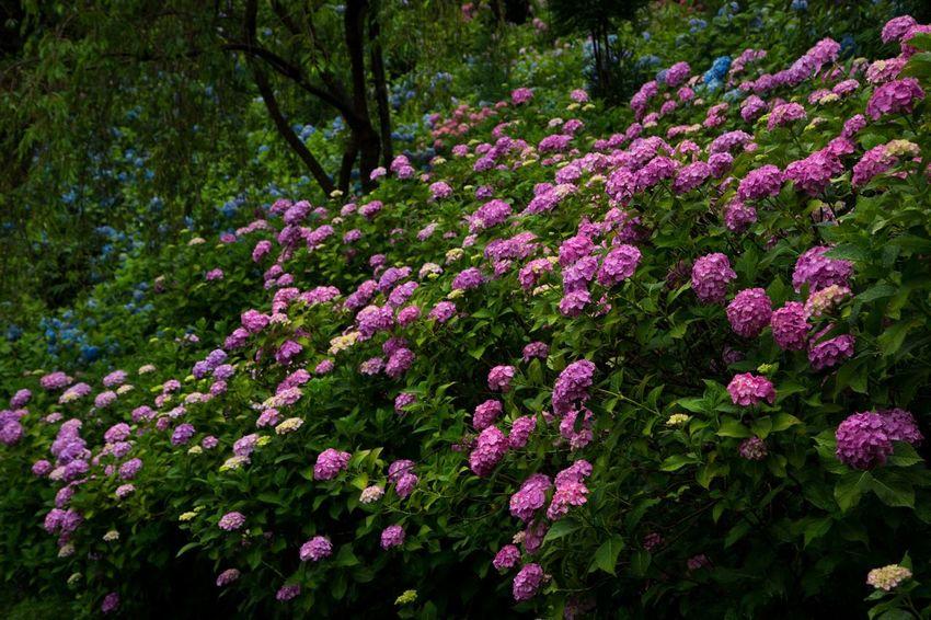 善峯寺 紫陽花