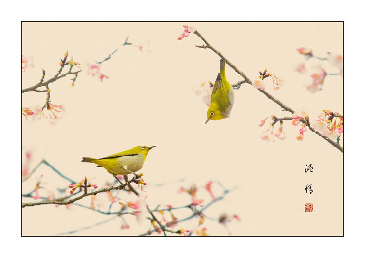 温情——暗绿绣眼 Tree Flower Bird Branch Flower Head Springtime Leaf Autumn Pink Color Blossom