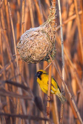 Southern Masked Weaver Bird South Africa Birds Nest Yellow Bird Oudtshoorn