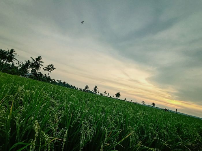 Scenic view of corn field against sky