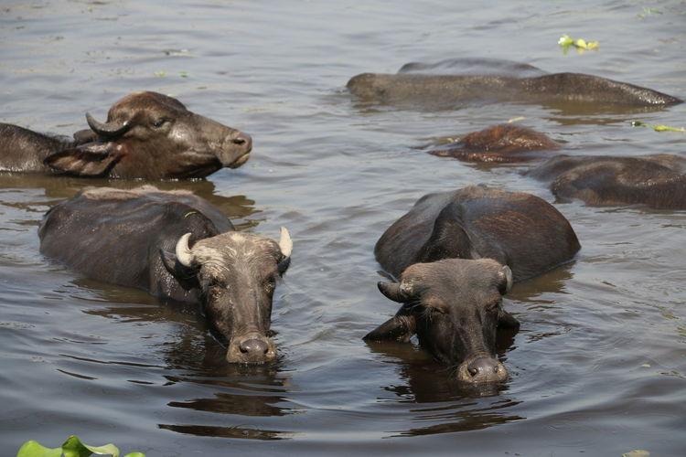 water buffalo's Water Water Buffalo Group Of Animals Farm Animal Mud My Best Photo