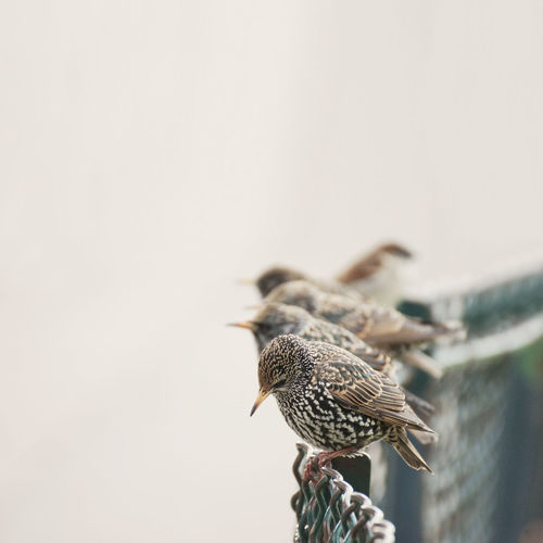 Starlings perching on fence against clear sky