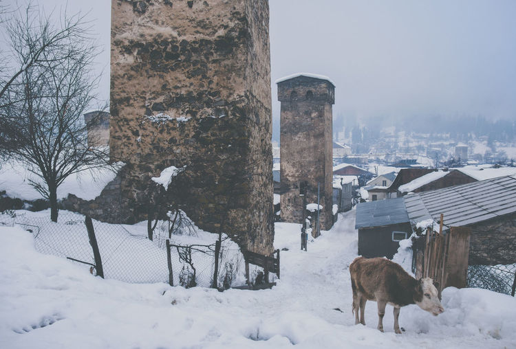 ASIA Caucasus Georgia History Through The Lens  Animal Cow Culture Europe Historic History History Architecture Snow Tower