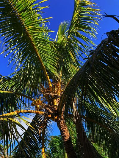 Calm under a Palm Tree Palm Tree Low Angle View Green Color Growth Nature Palm Leaf Beauty In Nature Sky No People Day Blue Outdoors Tranquility Clear Sky Scenics