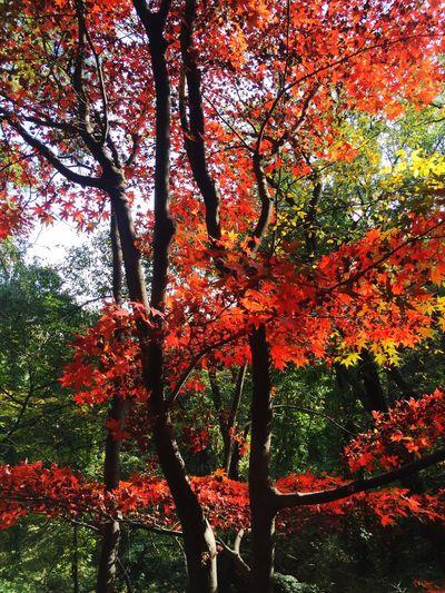 Fall In Leaf Fall Leaves Red Mapleleaf