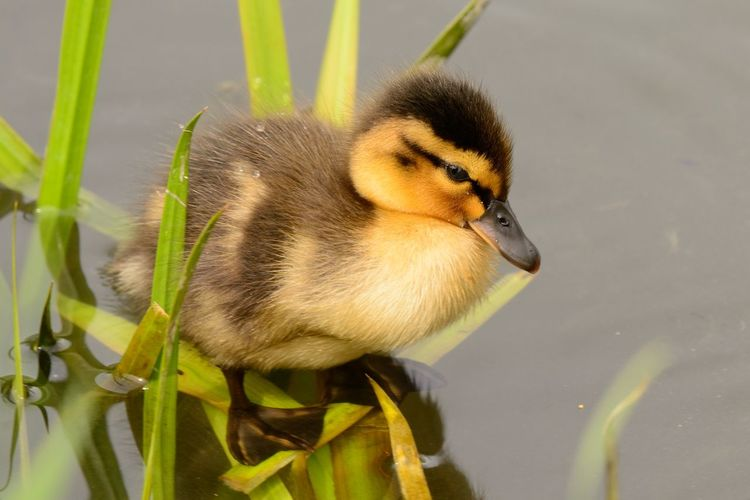Close-up of duckling