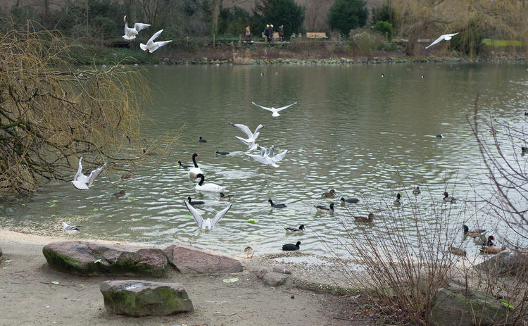 Berlin Photography Berlin Zoo Feeding  Flying High Seagulls Animal Themes Animal Wildlife Animals In The Wild Beauty In Nature Bird Day Flying Goose Lake Large Group Of Animals Nature No People Outdoors Spread Wings Swan Water Water Bird