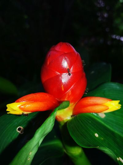 Flower Flowers Background Thailand Crape Ginger Costus Speciosus