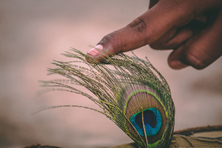 Cropped hand touching peacock feather