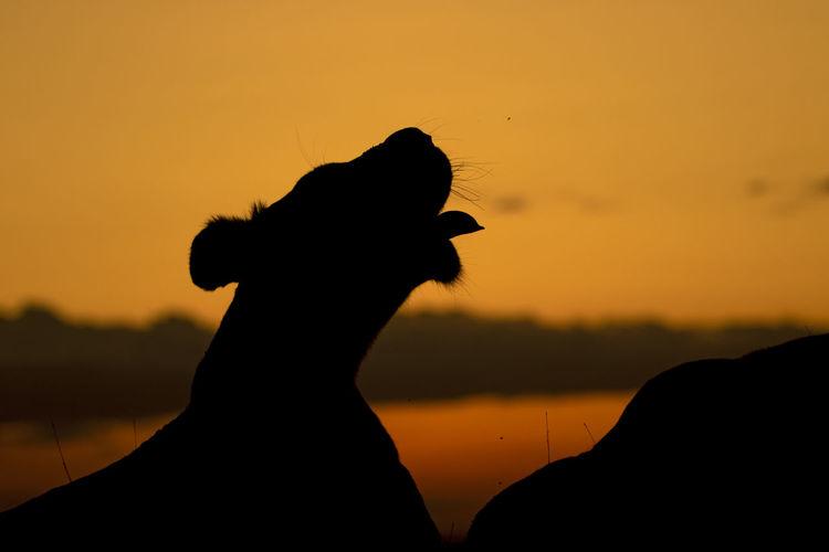 Silhouette of lioness against orange sky