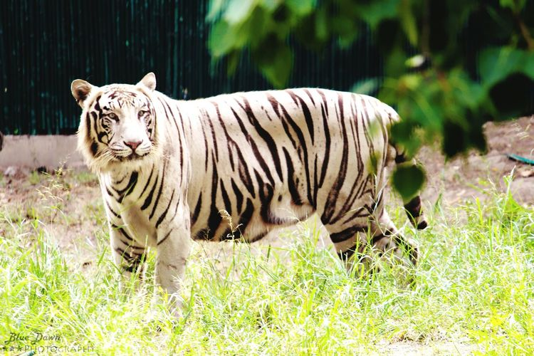 Whitetiger Wildlife Photography Zoophotography Bigcat Taking Photos Check This Out Hello World Nature Photography Nature_perfection Bluedawnphotography Taking Photos Wildlife Candidshot Wild Animal Professional Photographer That Moment Nature_collection Vibrant Color