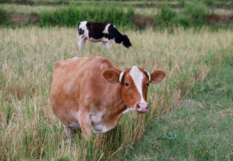 Domestic Animals Grass Cow Animal Themes No People Field Nature Outdoors Day Canon Canon 70d Canonphotography Looking At Camera ایران طبیعت ایران طبیعت Beauty In Nature Iran Nature مازندران Fresh On Eyeem