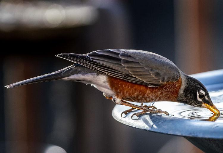 Sipping Bird