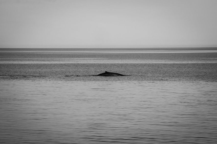 Nature Whale Animal Marine Life Outdoors Sea Tranquility Water Wildlife