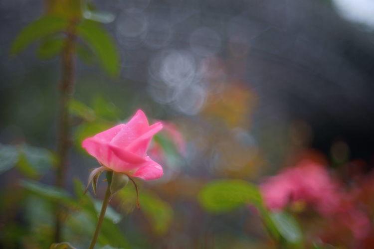 Pink rose Pink