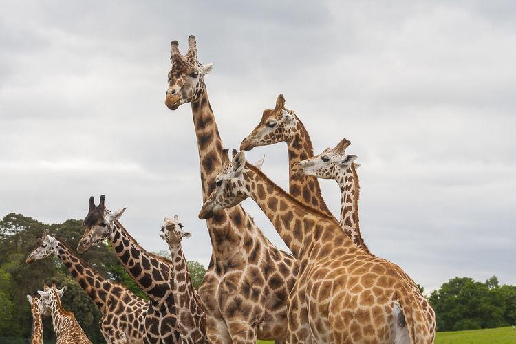 Giraffe Nature Animal Animal Themes Animal Wildlife Cloud - Sky Day Funny Faces Giraffe Giraffes Long Mammal Mammals Nature Nature_collection Neck No People Orange Color Outdoors Safari Safari Animals Sky Standing Tall Tall Animal