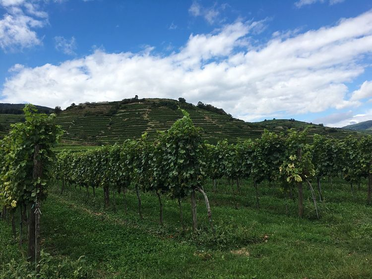 Vineyard in Wachau Agriculture Vineyard Rural Scene Green Color Nature Beauty In Nature Cloud - Sky Hill Crop  Growth Wachau Austria Cultivated Land Sky Plantation Outdoors