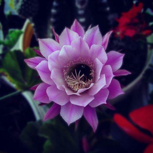 La vida está hecha de eternos comenzares. Flowers Flores Naturaleza Vida Life Tierra Cactus Igerscoyoacan Culturacolectiva Talentomex Phantogramex Instantefotografico Instanteprimaveral Instantefloral