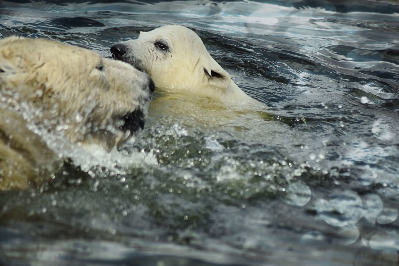 animals in the wild, bear, mammal, animal wildlife, animal themes, water, no people, nature, one animal, day, aquatic mammal, outdoors, close-up
