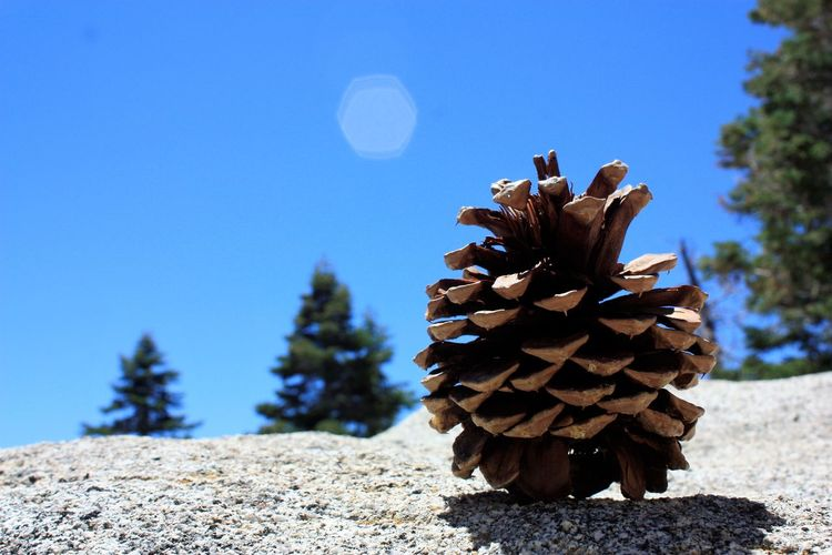 Lone cone Clear Sky Day Focus On Foreground Forest Nature No People Outdoors Pinecone Rock Sunlight Tree