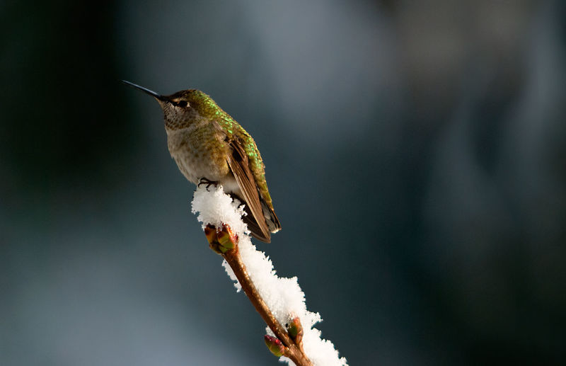 Hummingbird on