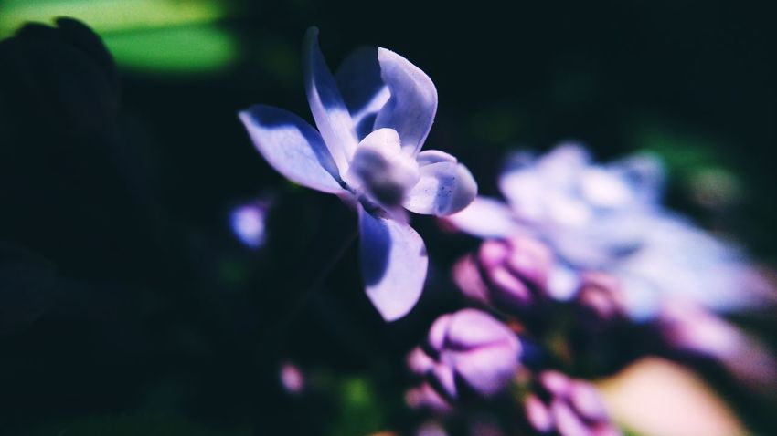 Mobilephotography Flower Flower Head Beauty Springtime Close-up Plant Crocus Blooming Purple Cosmos Flower