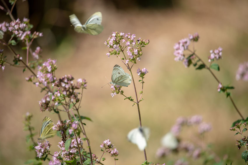 Animal Animal Themes Animal Wildlife Animal Wing Animals In The Wild Beauty In Nature Close-up Day Flower Flower Head Flowering Plant Focus On Foreground Fragility Freshness Growth Insect Invertebrate No People One Animal Outdoors Petal Plant Pollination Springtime Vulnerability