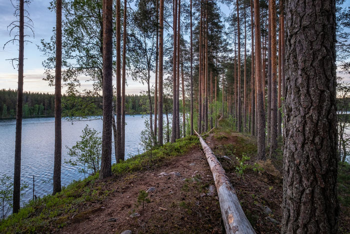 Scenic forest landscape with idyllic path and evening light in Loppi, Finland Evening Light Finland Hiking National Park Path Summertime Forest Hike Lake Landscape Nature No People Outdoors Pathway Plant Scenics - Nature Summer Trail Tranquil Scene Tranquility Tree Tree Trunk Water Waterfront WoodLand