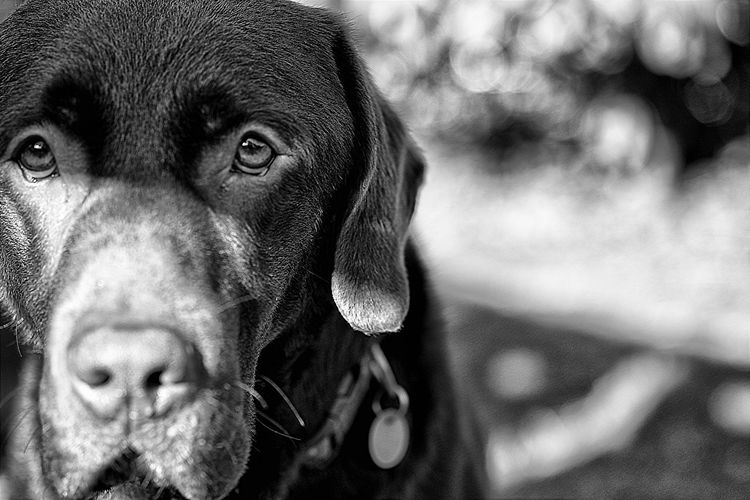 Bailey Animal Head  Close-up Dog Portrait Dogs Domestic Animals Headshot Labrador Retriever One Animal Portrait