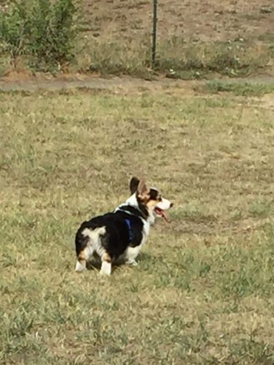 Corgi puppy