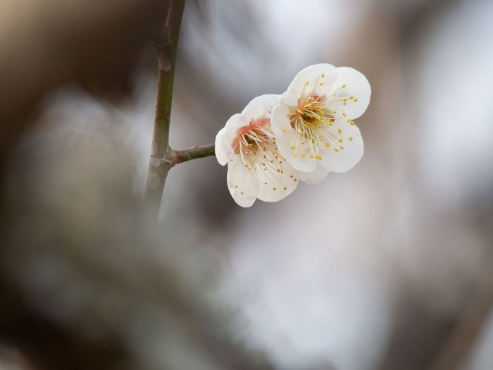 Flower Plant Flowering Plant Beauty In Nature Close-up White Color Flower Head Growth Blossom Nature Springtime Tree Branch Outdoors Plum Blossom