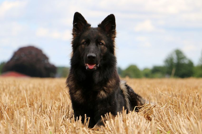 german shepherd is lying on a stubble field EyeEm Pets Animal Themes Black Color Close-up Day Dog Domestic Animals Field German Shepherd Looking At Camera Lying Down Mammal Nature No People One Animal Outdoors Pets Portrait Schäferhund Shepherd Sky Stoppelfeld Stubble Field Summer