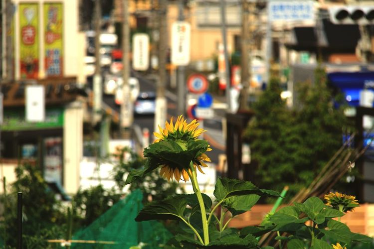 Close-up of flowering plant in city
