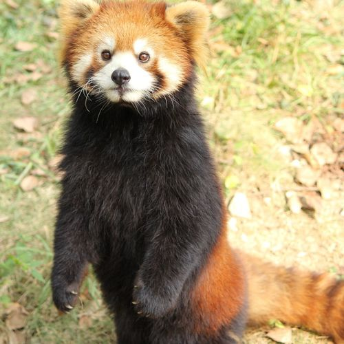 Red Panda Standing On Field