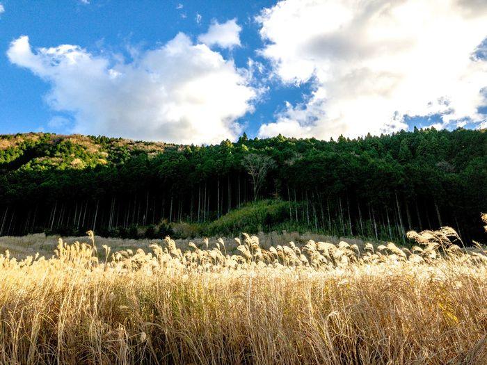 夕暮れの空、ススキの原、境界の森。 Forest Pampas Grass Japanese  Sunset Silhouettes Sunset Cloud - Sky Sky Growth Nature Tranquility Agriculture Tranquil Scene Field Scenics No People Landscape Day Tree Beauty In Nature Freshness Outdoors Rural Scene Grass