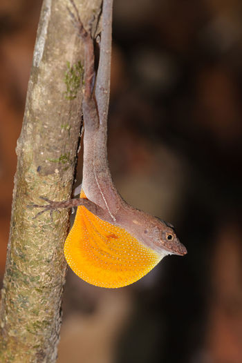 Golfo-dulce Anole (Norops polylepis) showing dewlap, Corcovado National Park Animals In The Wild Anole Anole Lizard Corcovado National Park Costa Rica Dewlap Lizard Lizard Nature One Animal Outdoors Rainforest Reptile Tree Wildlife