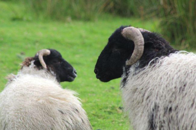 Eat Me Sheep RAM Sheep Talk Check This Out Taking Photos Hanging Out Enjoying Life Taking Photos