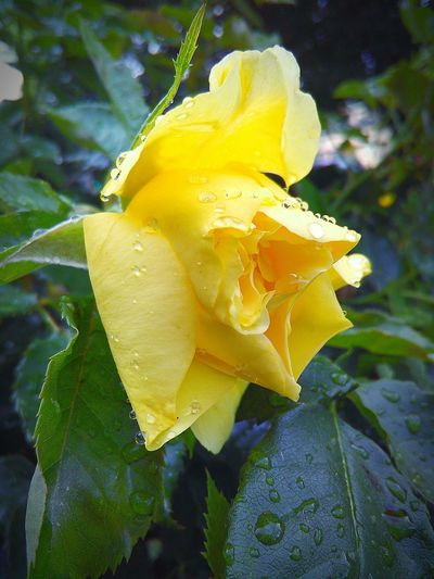 Mother Nature Leaves🌿 Rain Drops On Leaves Rain Drops On Flowers My Photography Flowers,Plants & Garden Rainy Days☔ Rain Drops On Petals Flower Porn Rain Drops On Rose Depth Of Field