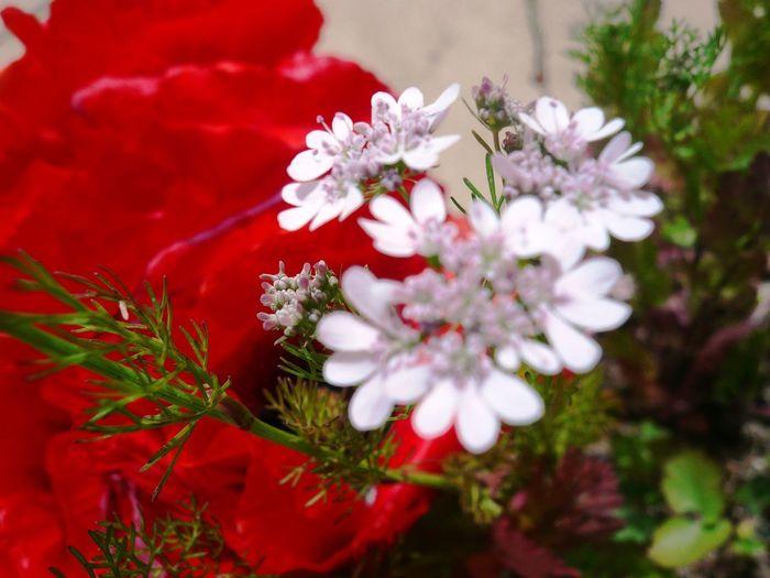 FLOWERS SPRING NATRAL Flowers,Plants & Garden Green Natral Tiny Garden Multy Red Color Rojo Spring White