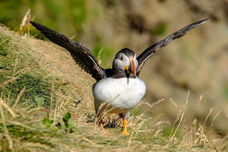 Puffin @Staffa Puffin Nature Animal Grass Island Scotland Summer Bird Spread Wings Portrait Bird Of Prey Looking At Camera Feather  Close-up