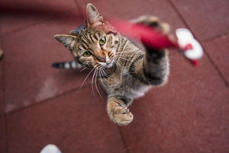 High angle portrait of tabby cat on floor