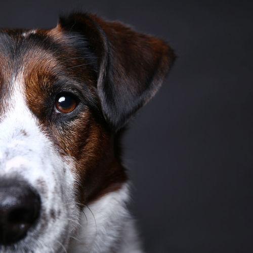 Animal Canine