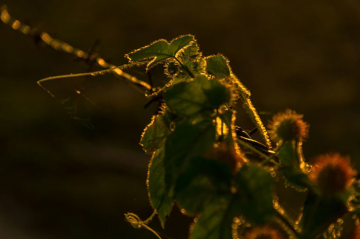 A wild plant during the sunset. Branch Close-up Day Focus On Foreground Fruit Green Growth Leaf Light Nature No People Plant