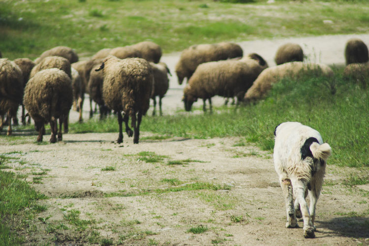 Animal Themes Beauty In Nature Cow Day Domestic Animals Field Flock Of Sheep Grass Grazing Highland Cattle Lamb Landscape Large Group Of Animals Livestock Mammal Nature No People Outdoors Sheep Shepherd Young Animal