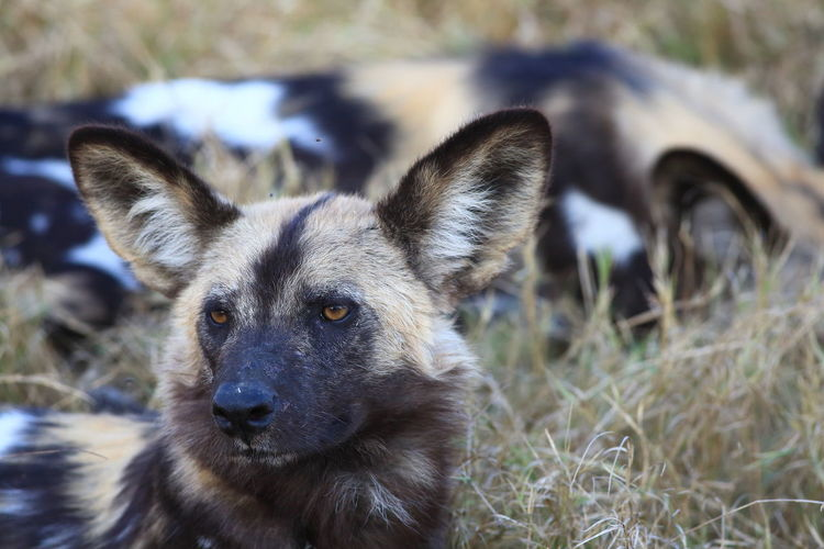 Close-Up Of African Wild Dog On Field