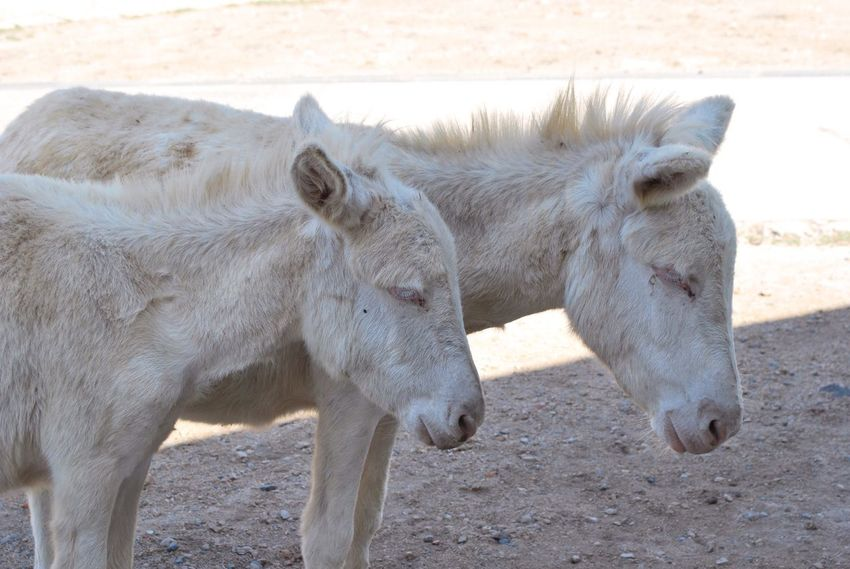 Asini bianchi, Asinara Sardegna Asinara Asini Bianchi White Donkeys Nature's Diversities Animals In The Wild Animals Color Palette Color Palette Two Is Better Than One Pet Portraits
